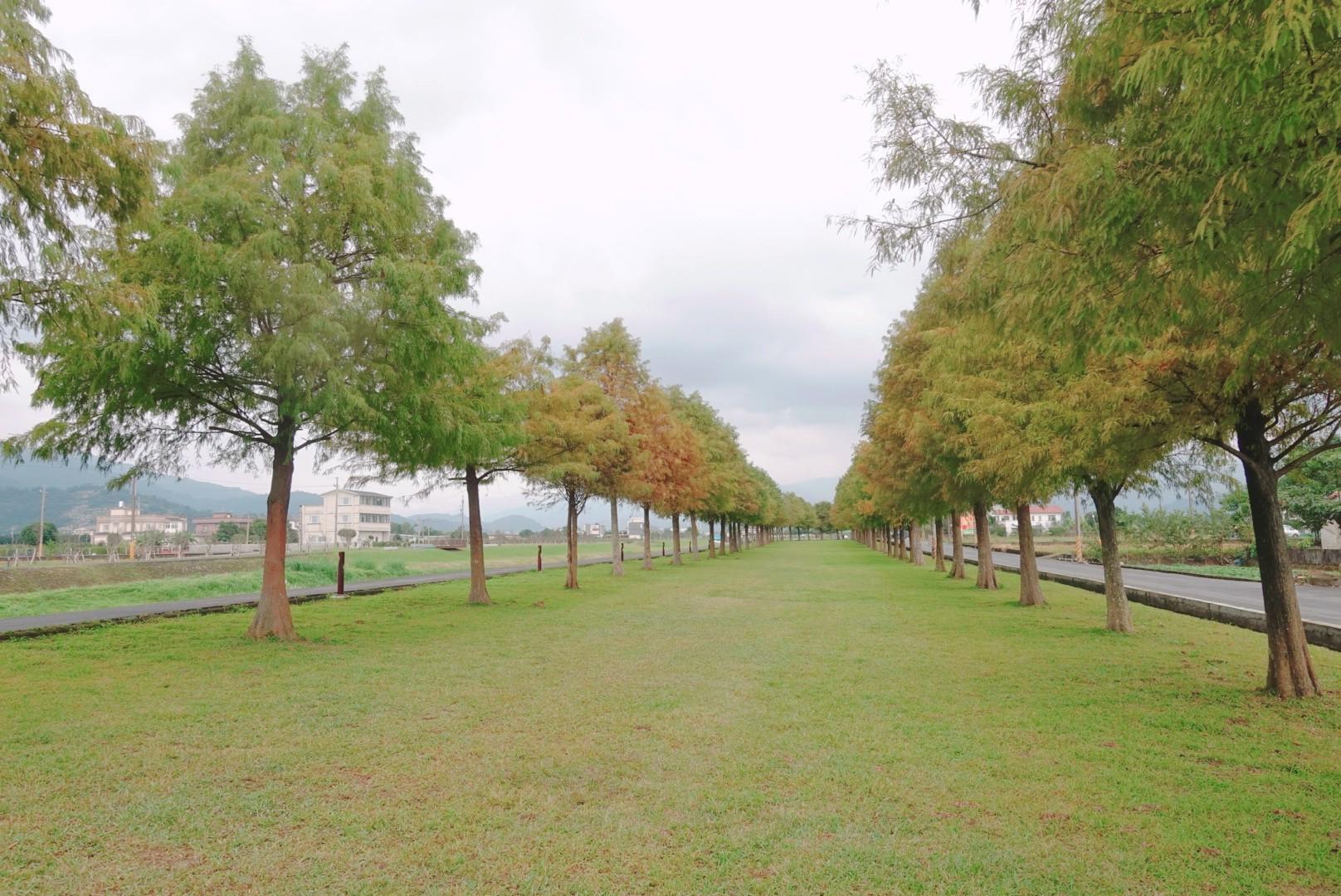 【宜蘭三星】三星落羽松|秋季賞落羽松超美秘境,溪畔散步賞松好不愜意|免費景點