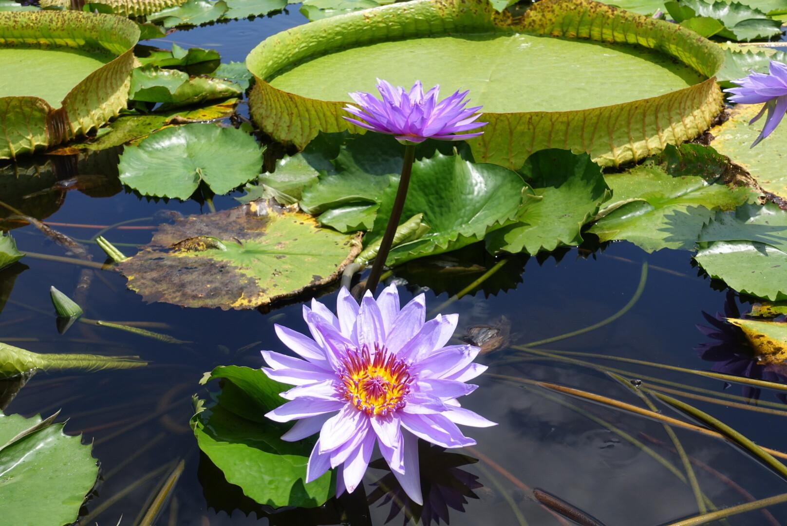 【花蓮吉安】蓮城蓮花園 免費蓮花茶暢飲,滿池盛開的嬌豔荷花