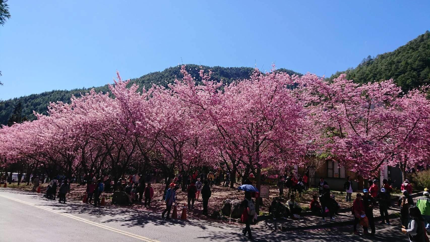 【台中遊記】武陵農場–飄落的櫻花與櫻色的武陵之旅